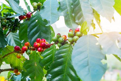 fresh-arabica-coffee-bean-tree-mountain-