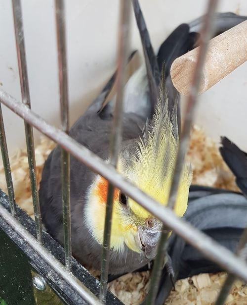 vogel nymphensittich strueckh 7-24.jpg