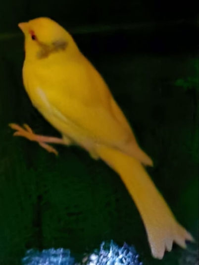 vogel kanarien grosiel 4-12.jpg