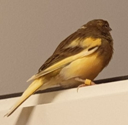 vogel kanari 9-23.jpg