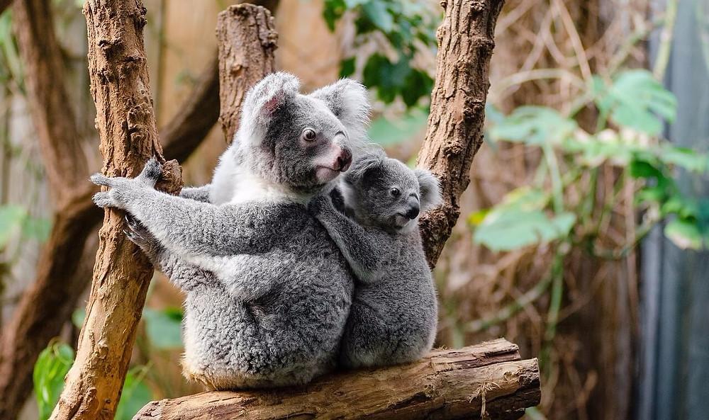 Koalas at Tarong Zoo