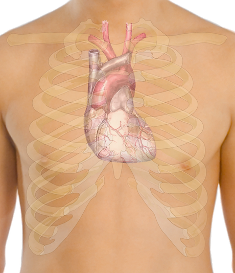 Surface_anatomy_of_the_heart_edited.png