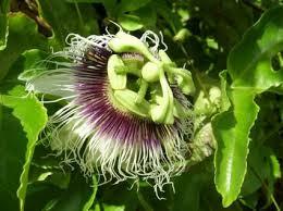 Growing Black Passionfruit