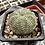 Thumbnail: Euphorbia obesa