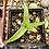Thumbnail: Bulbine natalensis