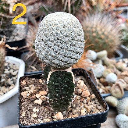 Euphorbia piscidermis 2