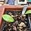 Thumbnail: Massonia longipes