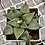 Thumbnail: Haworthia emelyae comptoniana (ex Pelser)