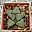Thumbnail:  Haworthia magnifica v. splendens, GM452