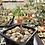 Thumbnail: Othonna arbuscula