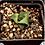 Thumbnail: Haworthia granulata