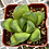 Thumbnail: Haworthia hybrid от Francois Hoes (Бельгия)