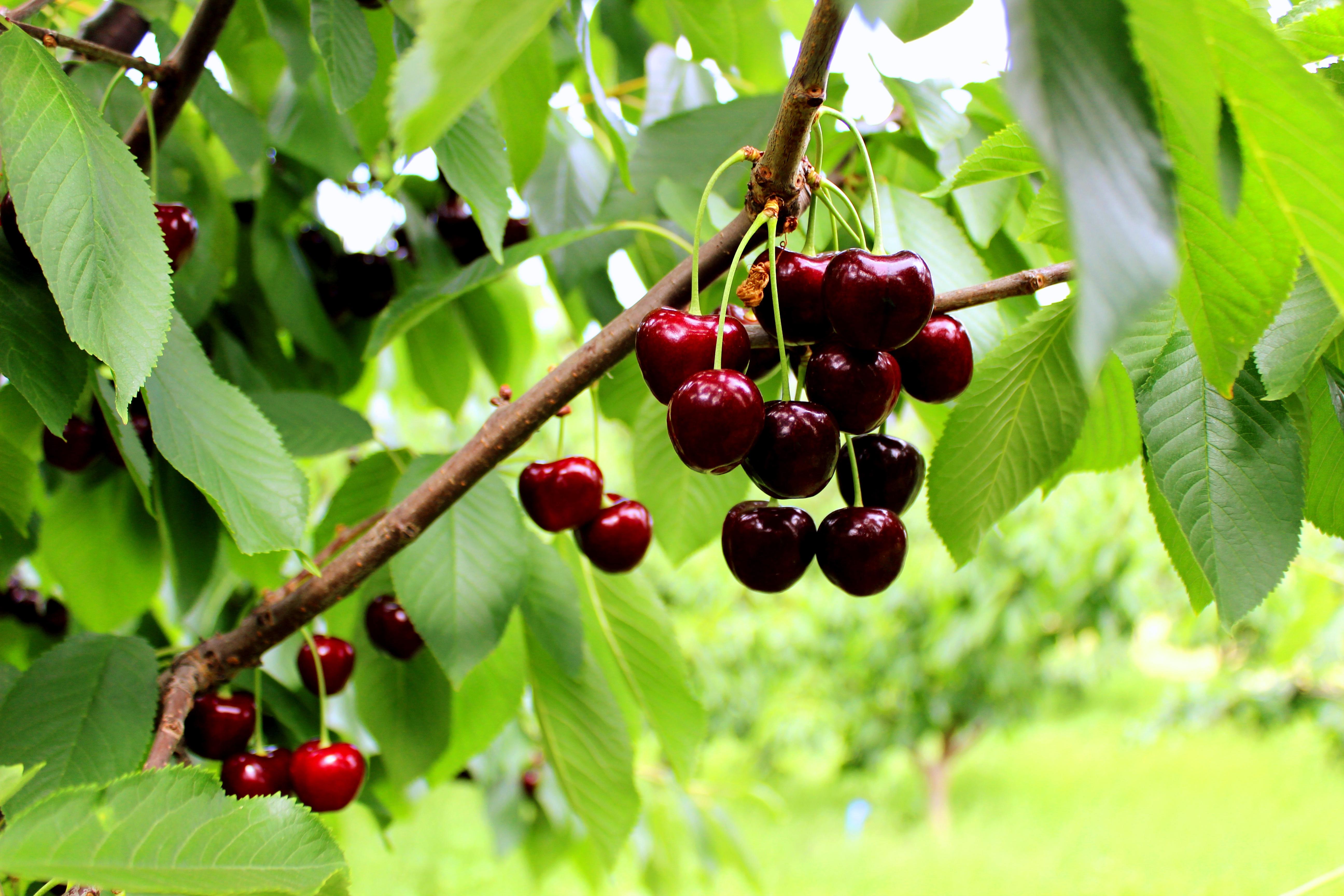 Coal Valley Orchard Cherries