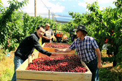 Coal Valley Orchard Cherry Picking