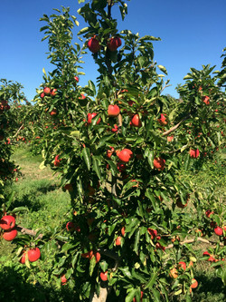Coal Valley Orchard Apple Trees