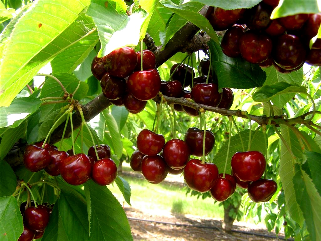 Coal Valley Orchard Cherries
