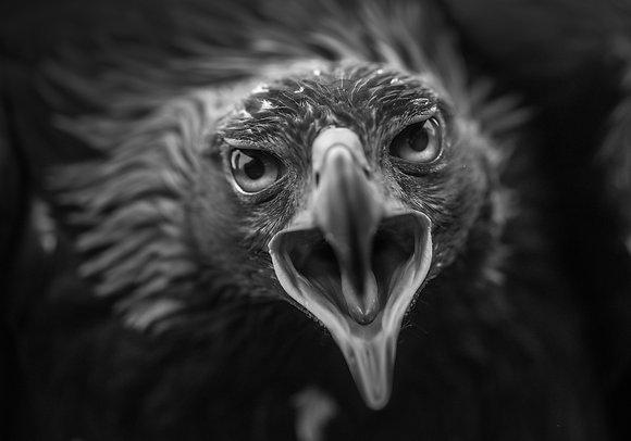 Foto Kunstwerk - ***Eagle*** - Joachim Bergauer