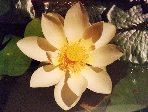 All One Peace Wisdom School - White Lotus Flower