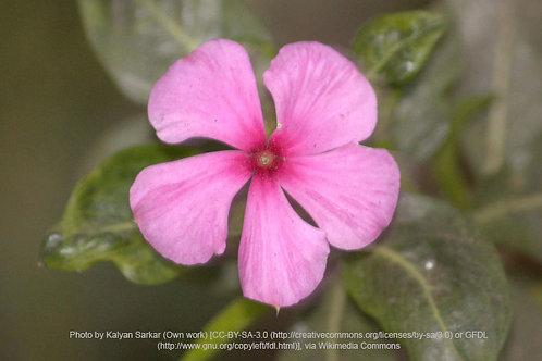Madagascar Rose Flower Essence