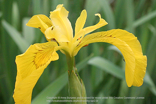 Yellow Flag (Water Iris) Flower Essence