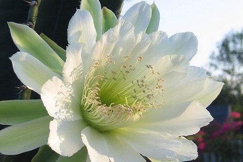 Night Blooming Cereus Flower Essence