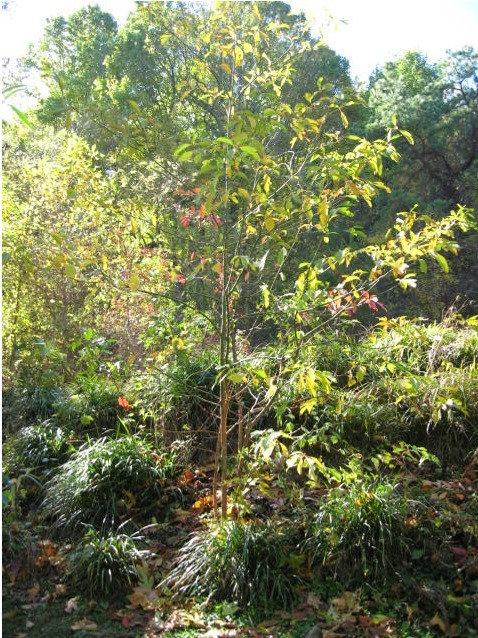 Sassafras Tree (Asheville, NC) Essence