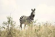 zebra-171209_1920.jpg