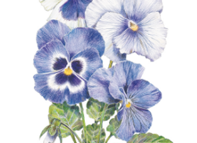 Got The Blues Pansy