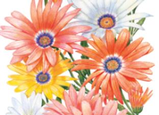 Cape Marigold African Daisy