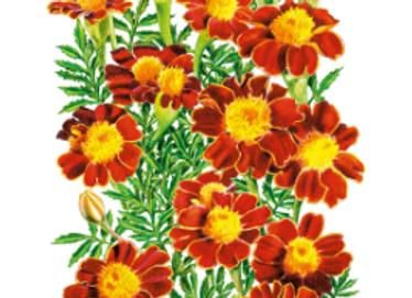 French Red Metamorph Marigold