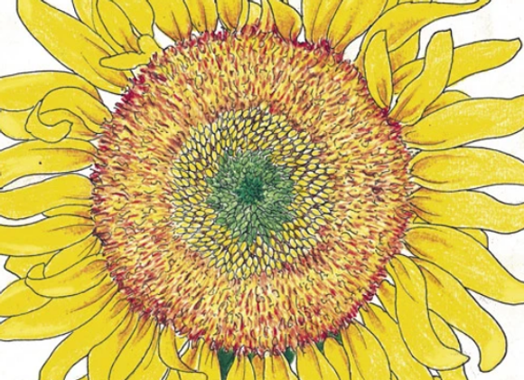 Russian Mamoth Sunflower