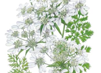 White Lace Orlaya