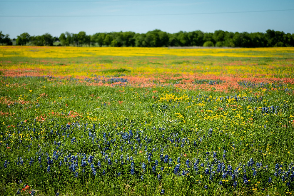 bluebonnets, orange Indian paintbrush and black eyed susan wildflowers in a field in north central texas