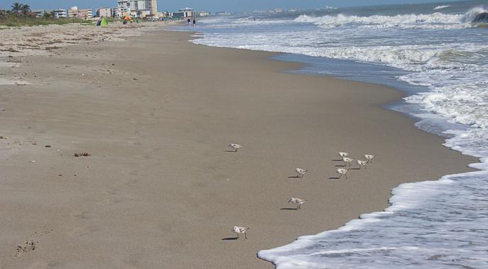 Lesser Sandpipers