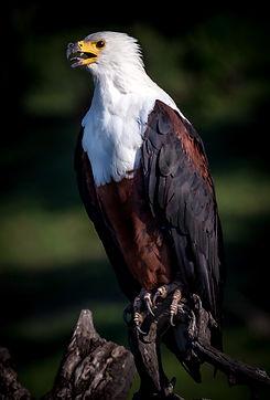 Birds, Birdlovers, Nature, Safari, Africa, Namibia, Botswana, South Africa, Asia, Eagle, Vultures, Geier,