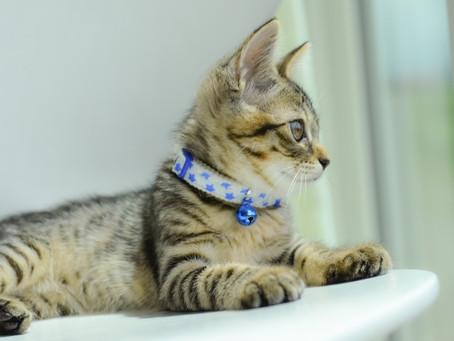 【Q&A】猫に首輪をしたほうがいいですか?