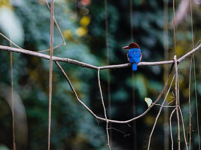 Kerala Kingfisher