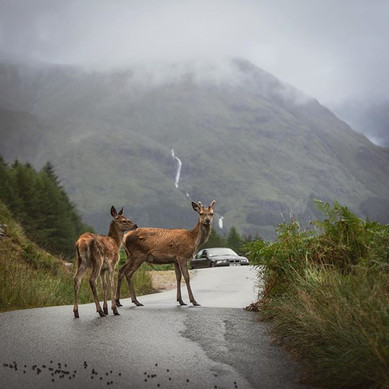 Scottish Deer