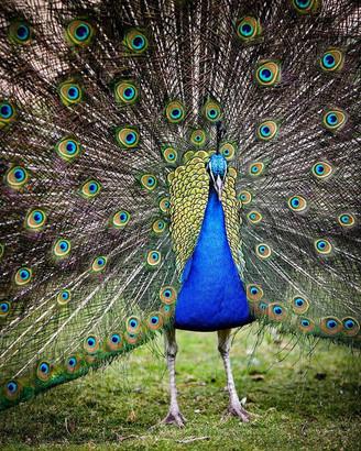 Bownsea Island Peacock