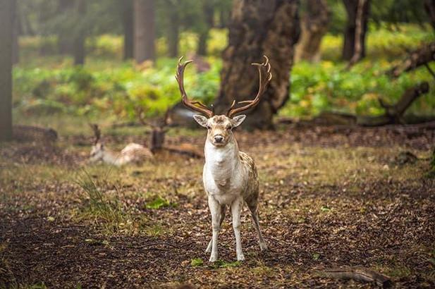 Deer at Ricmond Park