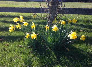 Daffodils Dancing in the Breeze