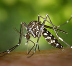 tiger-mosquito-mosquito-asian-tigermucke