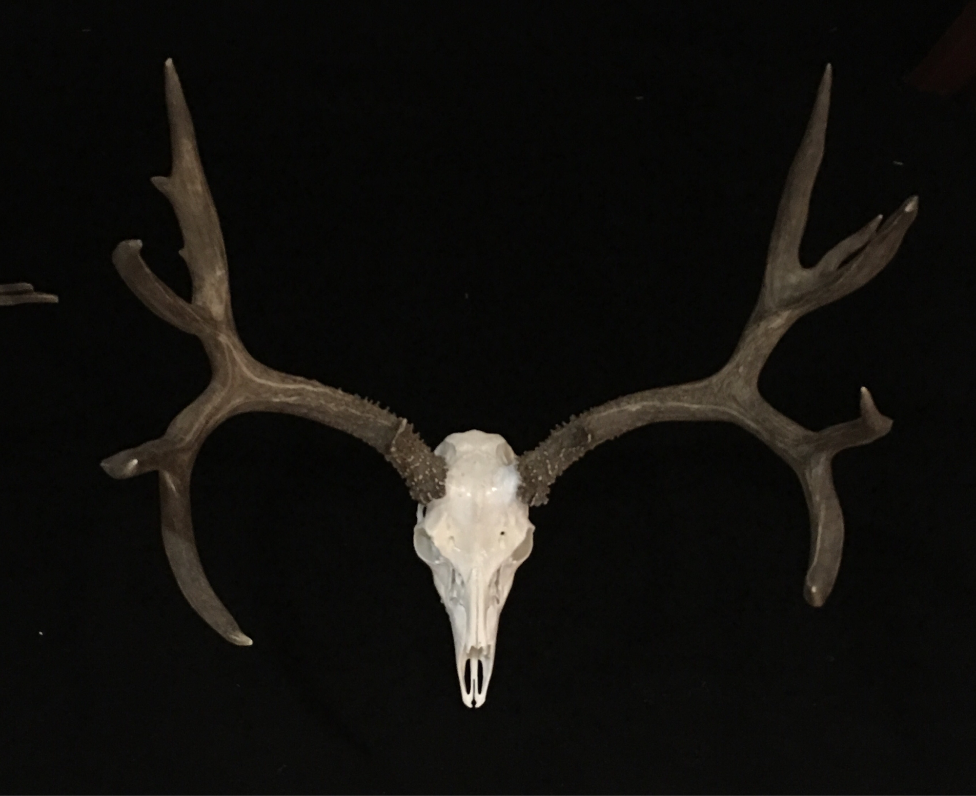 Mule Deer European Mount