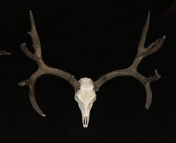 Mule Deer European Mount