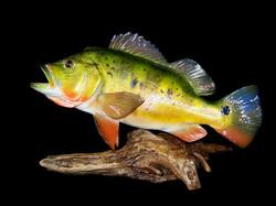 Peacock Bass Reproduction
