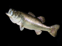 Large Mouth Bass Reproduction