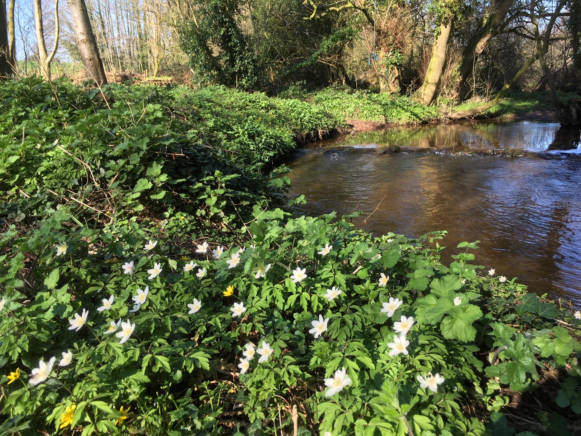 wood anenomes river