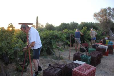 Working hard in the vines