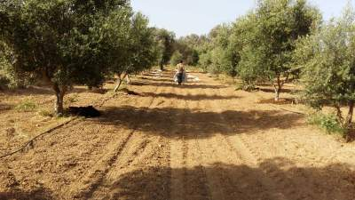Distributing the manure bags to each of my olive trees