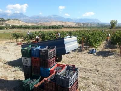 Grape harvesting